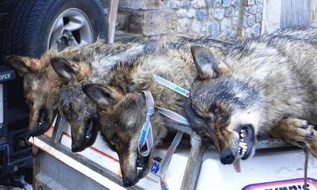 lobos ejecutados