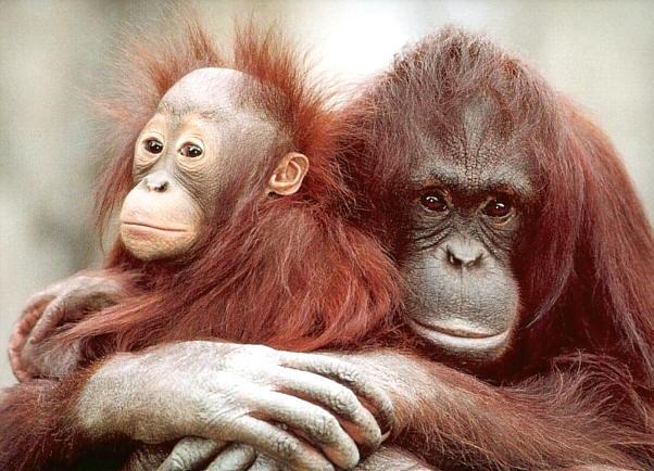 El aceite de palma está acabando con la selva tropical y miles de animales