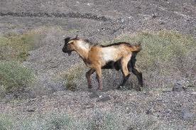 Gran Canaria: marcha al Cabildo contra la matanza de cabras en Guigui