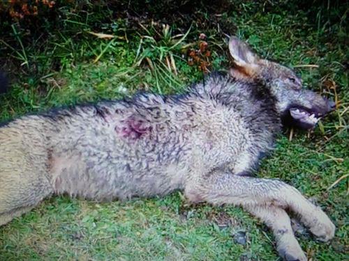 Guardas de Picos de Europa abaten a tiros al lobo Marley