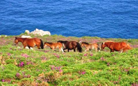 Resultado de imagen de caballos salvaxes galicia
