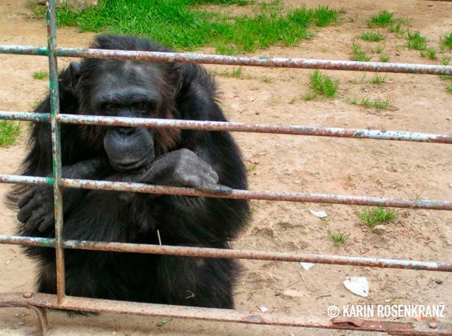 Matan a tiros a dos chimpancés escapados de un zoo de Fuerteventura