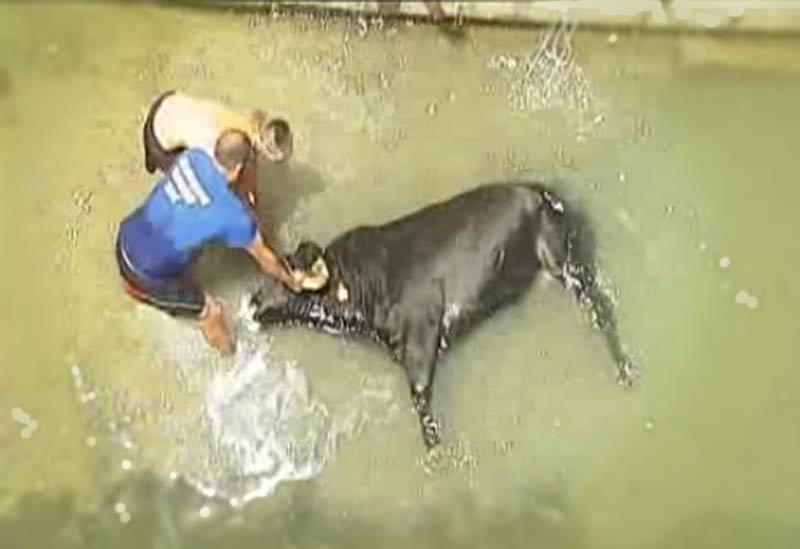 Muere ahogada una vaca en el 'bous a la mar' de Denia