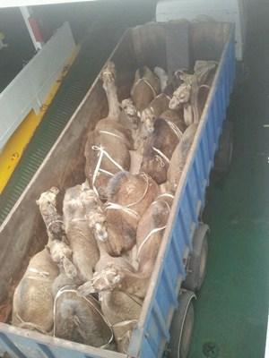 PACMA denuncia las condiciones del transporte de dromedarios para Cabalgatas