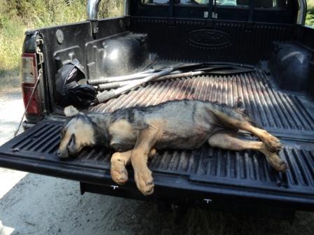 PACMA desvela las mentiras de la Xunta sobre las matanzas de lobos