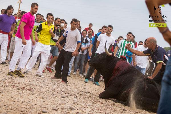 PACMA documenta la terrible muerte de Elegido Toro de la Vega 2014