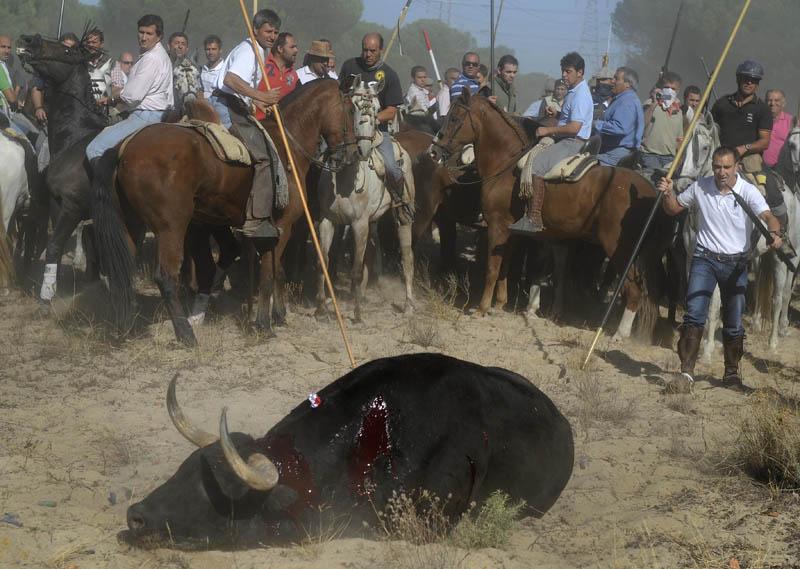 PACMA graba la tortura y muerte del Toro de la Vega