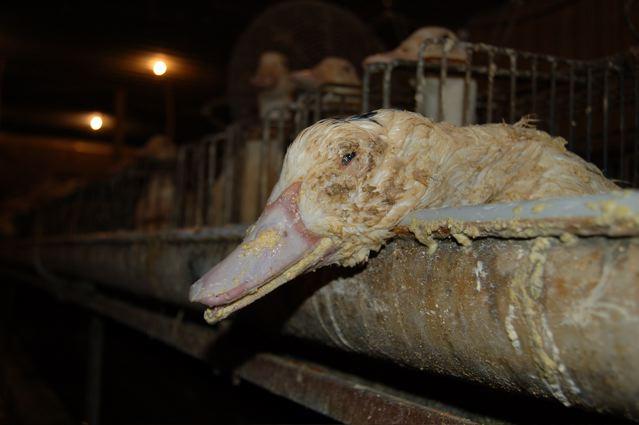 Prohibido el foie gras en California