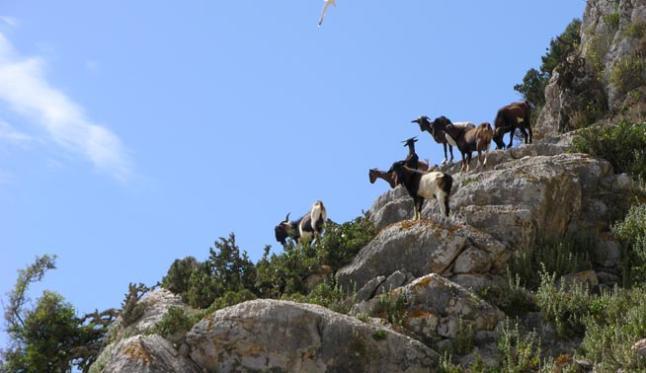 cabras Es Vedra