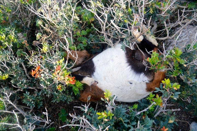 matanza-cabras-Es-Vedra-2