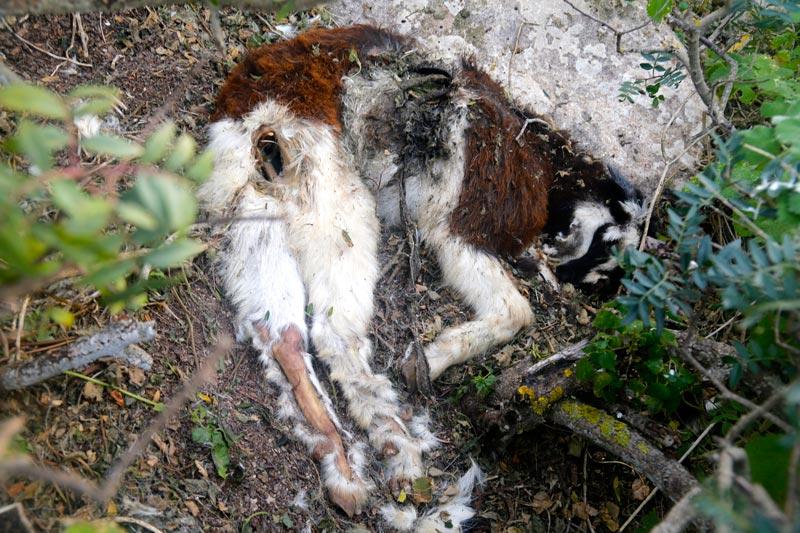 matanza-cabras-Es-Vedra-4