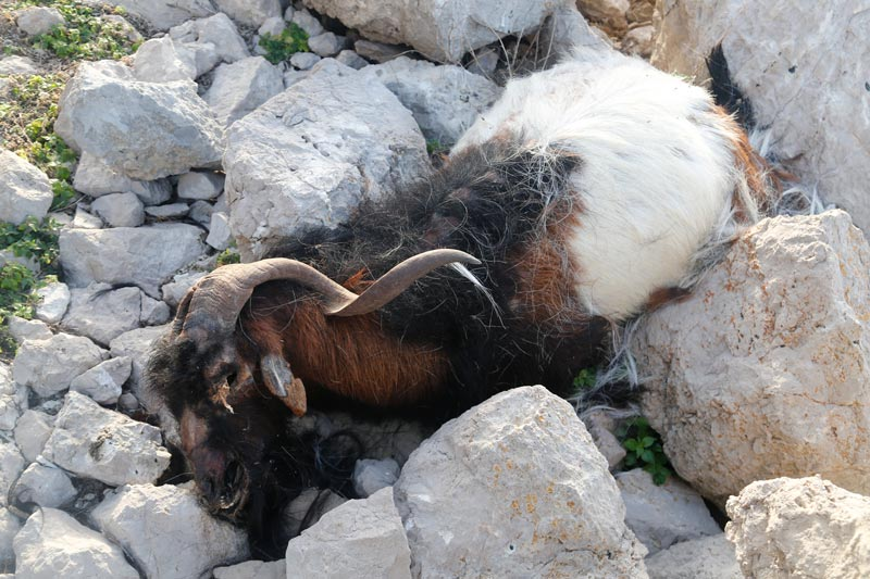 matanza-cabras-Es-Vedra-6