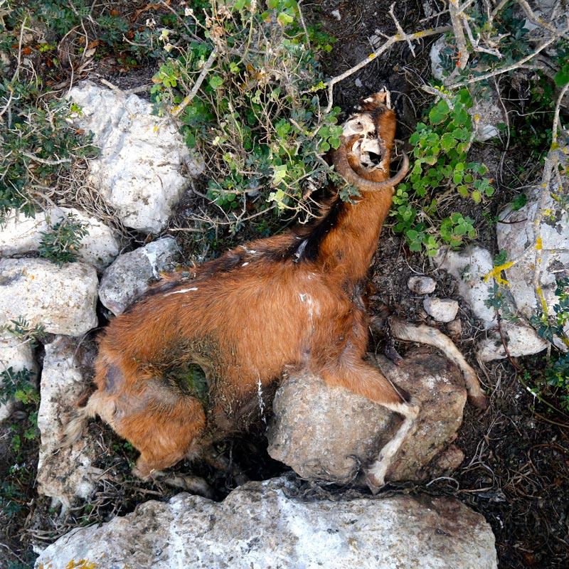matanza-cabras-Es-Vedra