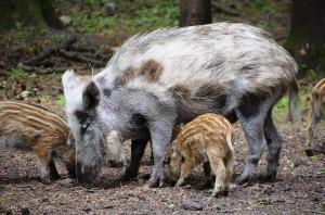 jabali, boar
