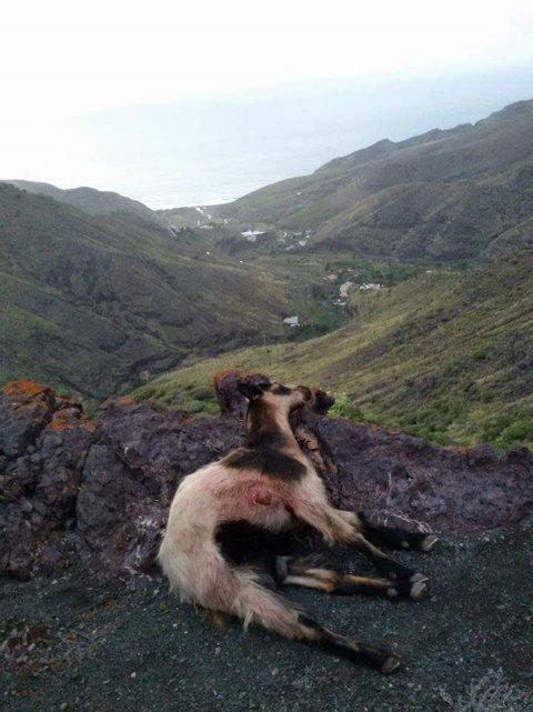 cabra ejecutada en Gran Canaria