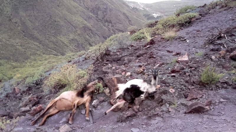 matanza cabras canarias