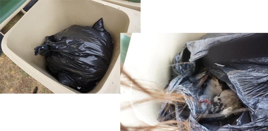 pichones en la basura
