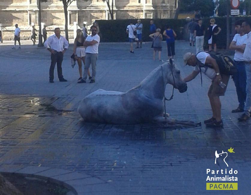 una yegua está tumbada en el suelo, se ha desplomado víctima del cansancio tras un día entero arrastrando un carro de paseo para turistas en Sevilla