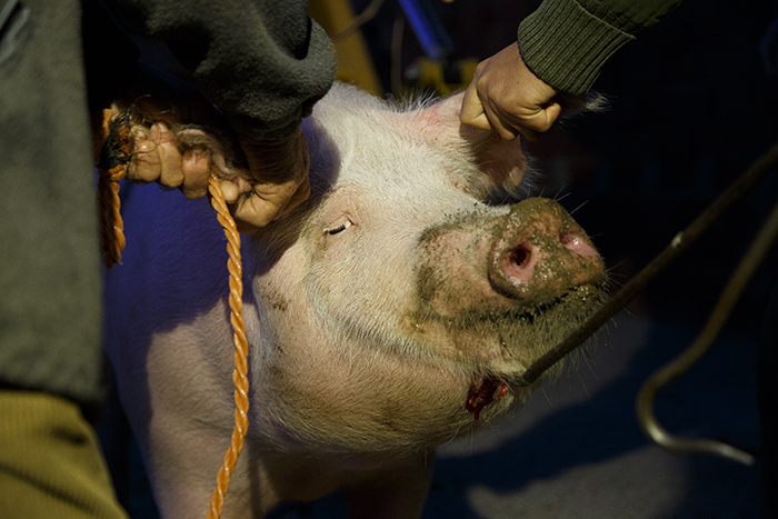 matanza-cerdo