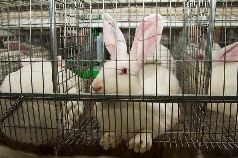 Conejos en jaulas de granja