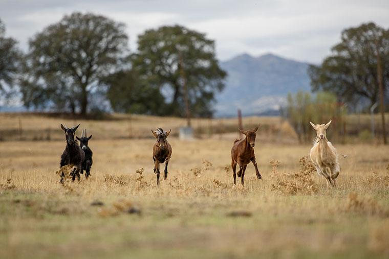 cabras-corriendo-santuario-