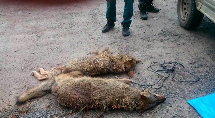 lobos muertos supermercado arriondas