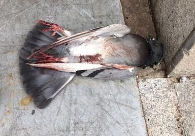 Paloma muerta por envenenamiento