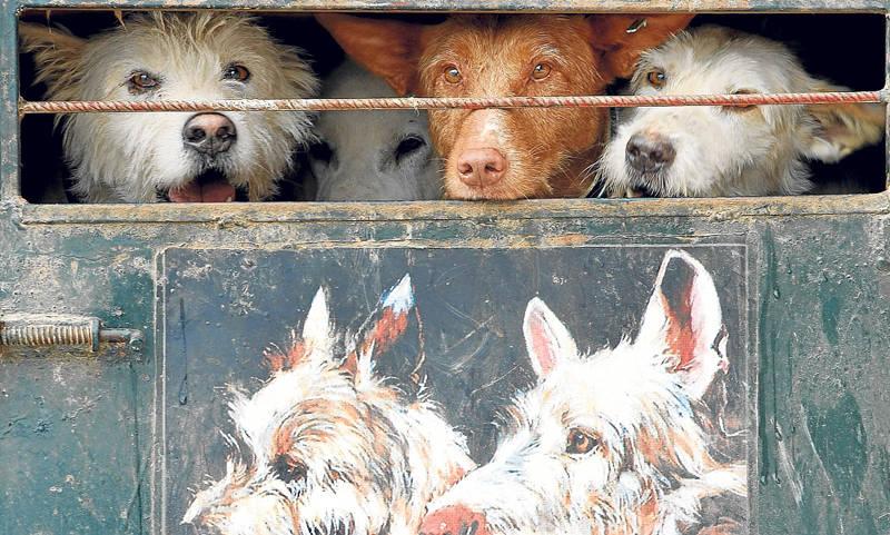 Rehala perros remolque