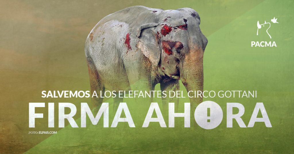 Uno de los elefantes del Corco Gottani heridos en un accidente en Albacete
