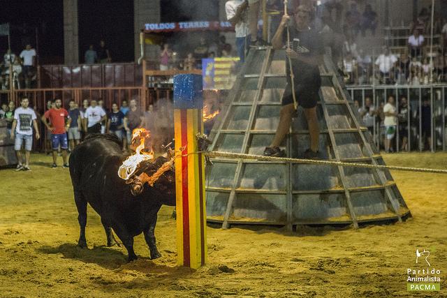 Toro embolado en Alginet (Valencia)