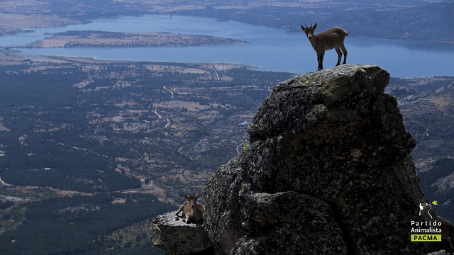Cabra en la Sierra de Guadarrama