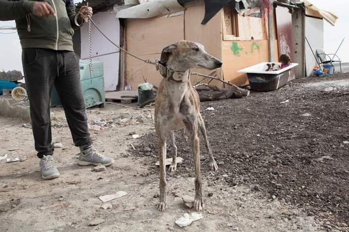 Uno de los perros que vive en la Cañada Real Galiana