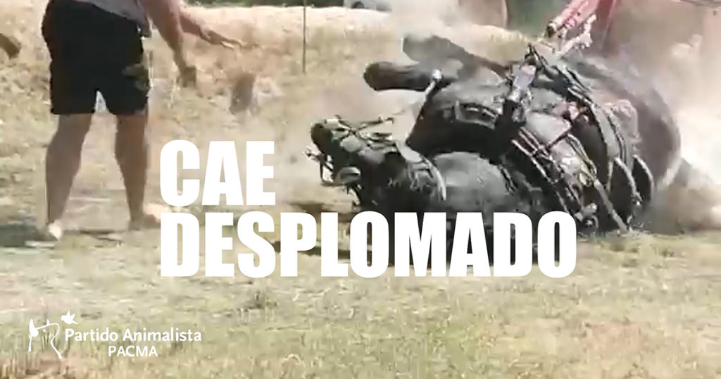 Un caballo cae desplomado en el tiro y arrastre en Riba-roja de Túria