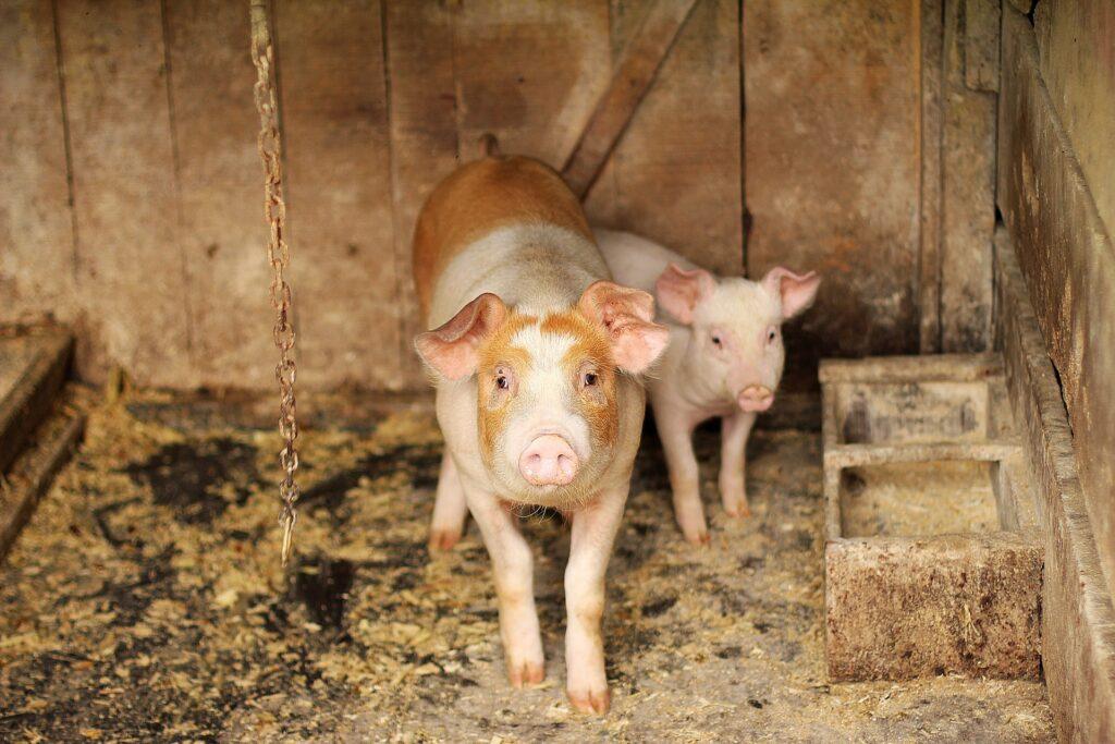 PACMA logra suspender el concurso del 'cerdo engrasado' en Palazuelos de la Sierra (Burgos)