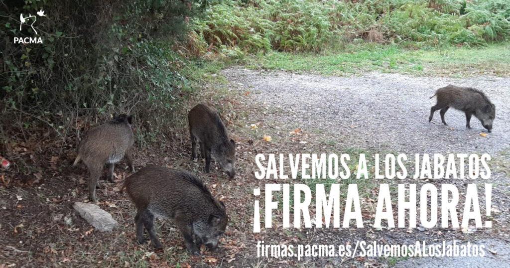 Salvemos a los jabatos huérfanos de Castrillón