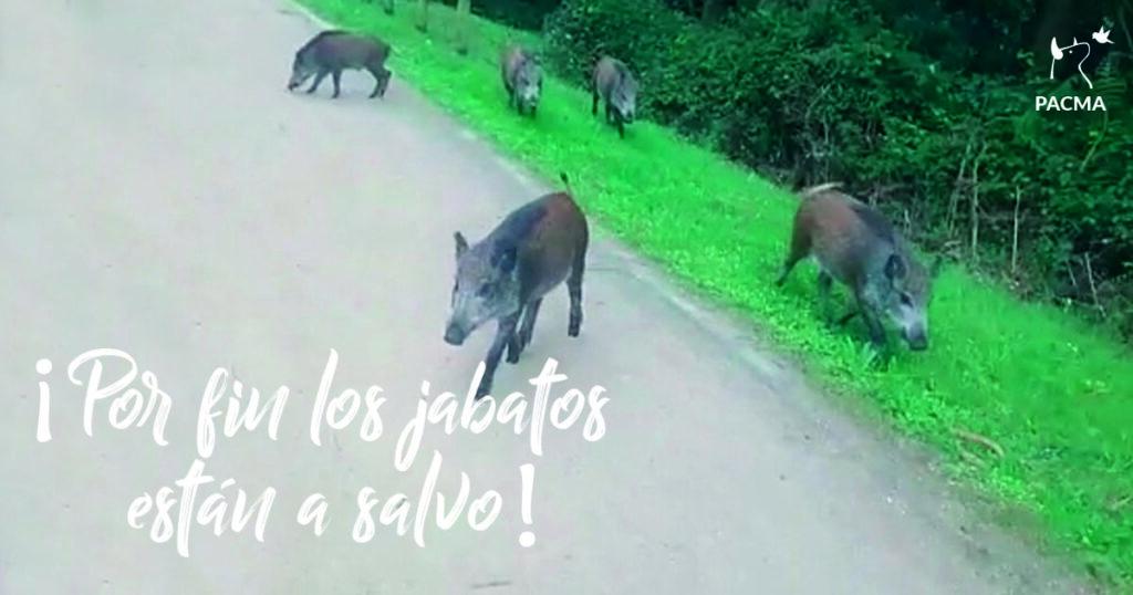 Los jabatos de Castrillón por fin están a salvo