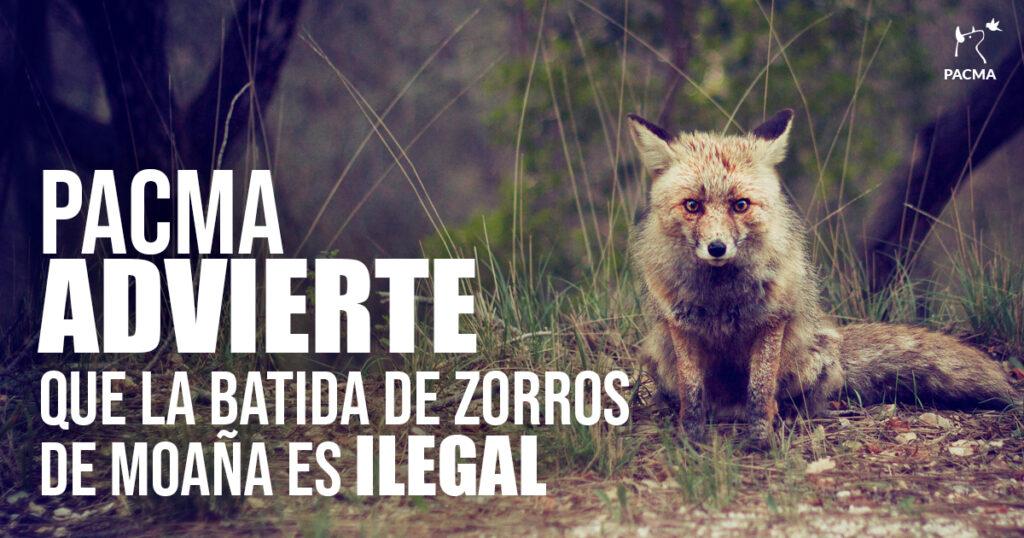 La batida de zorros en Moaña es ilegalLa batida de zorros en Moaña es ilegal