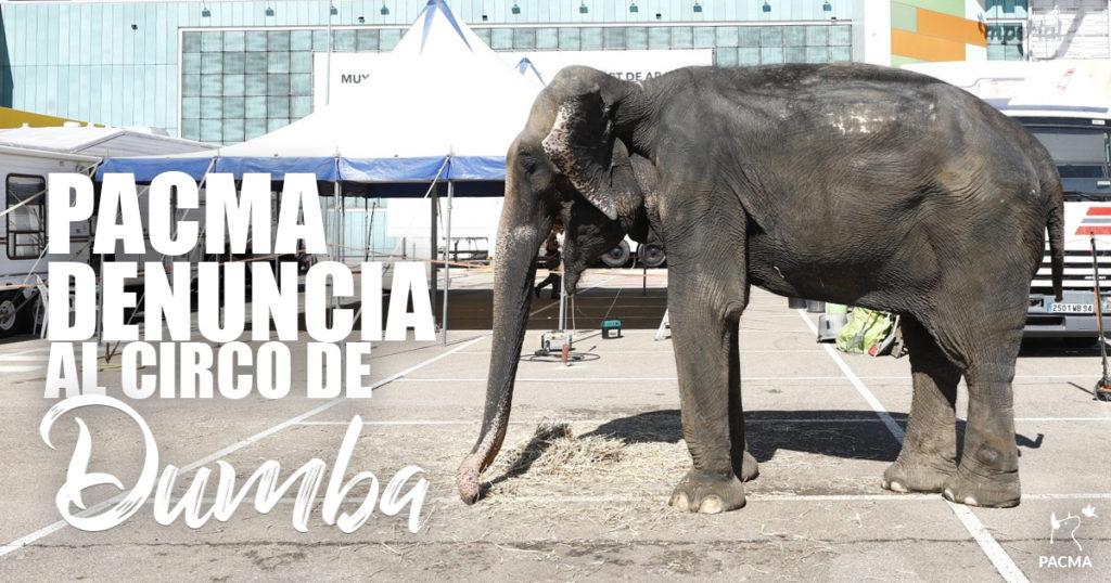 PACMA denuncia al circo de la elefanta Dumba