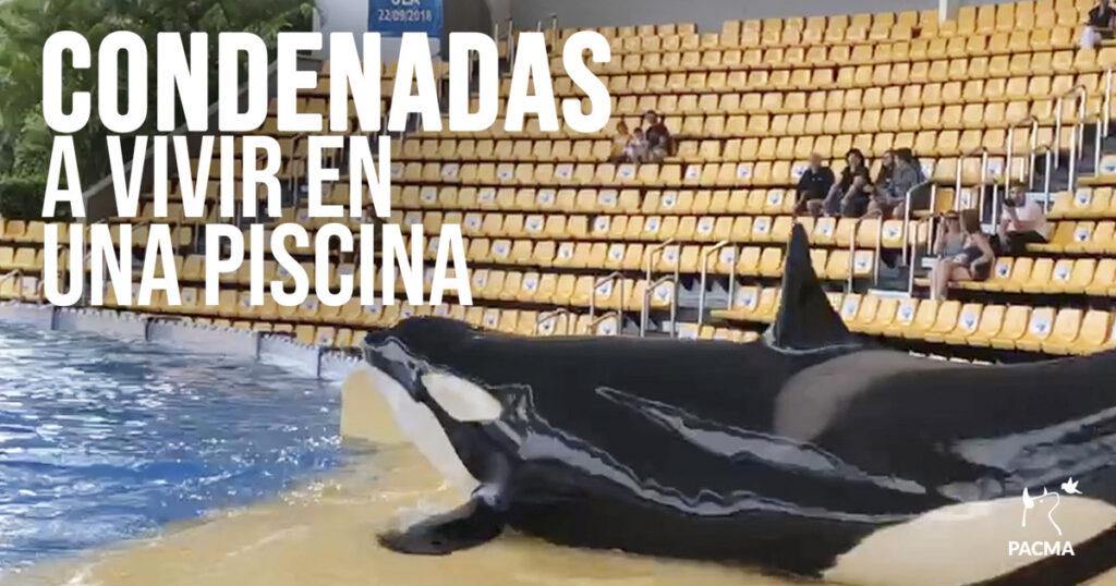 Las orcas son obligadas a vivir encerradas en una piscina y a realizar ejercicios de circo para divertir al público