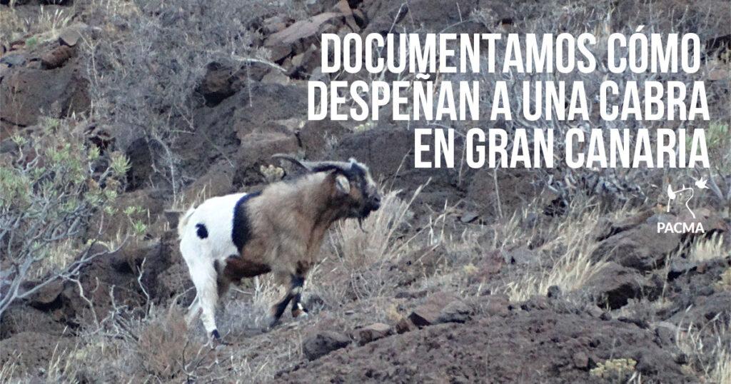 """Documentamos cómo despeñan a una cabra en Gran Canaria durante las """"apañadas"""""""
