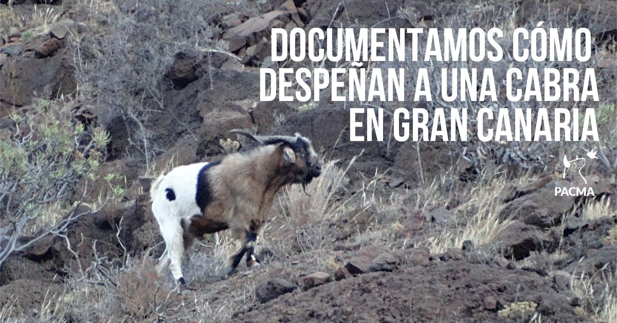 Despeñan a una cabra en Gran Canaria durante las «apañadas»
