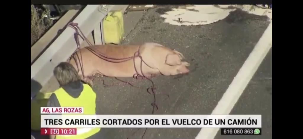 Imagen Telemadrid: Uno de los cerdos heridos en el accidente de un camión en la A6 (Madrid)