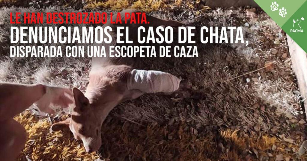 Denunciamos el caso de Chata, disparada con una escopeta de caza.