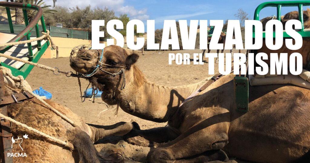 Camellos esclavizados por el turismo