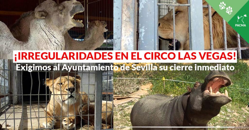 """Un collage de cuatro imágenes: dromedarios, leones, leonas y un hipopótamo. Superpuesto, el texto """"Irregularidades en el Circo Las Vegas"""""""